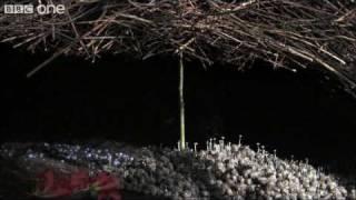 Life - The Vogelkop Bowerbird: Nature