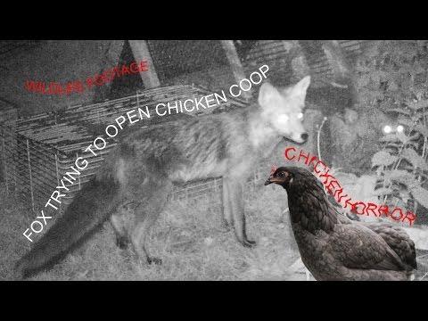 Fox trying to open chicken coop - Chicken Terror