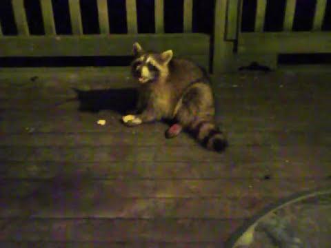 Injured Baby Raccoon
