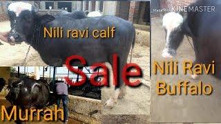 pure nili ravi buffalo sa Videos - votube net
