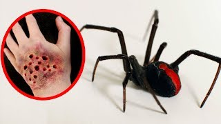 Download THE MOST POISONOUS SPIDERS In The World Video