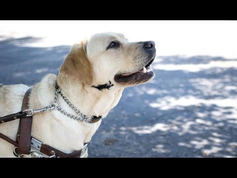 LIVE: Guide Dog Trains with Height Obstacles - SMUDGE | The Dodo LIVE