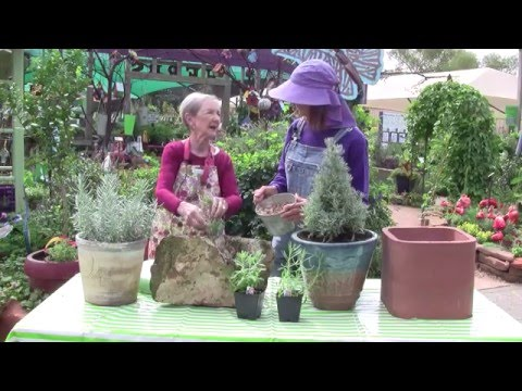 How to Grow Lavender in the Gulf Coast