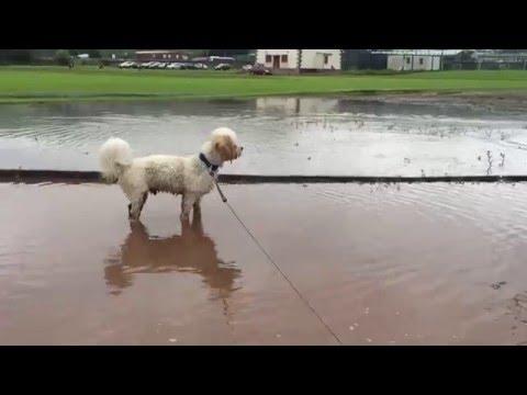 cute Cavapoo / Cavoodle Dog slowmotion