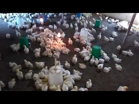 profit in poultry farming new farmer must watch [ 23 ]