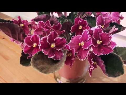 African violets with abundant blooms
