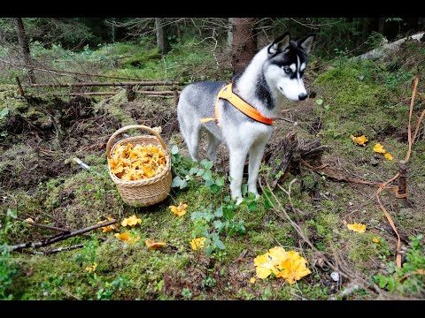 10 kg in one day!  How to find lot of chanterelles !