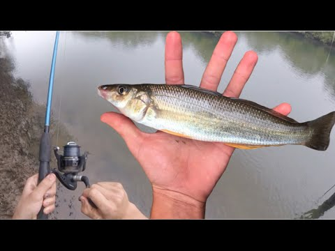 WHITING Catch n Cook! Caught with Fishing Rod - Simple Yummy Recipe