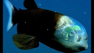 Facts The Barreleye Fish Spook Fish