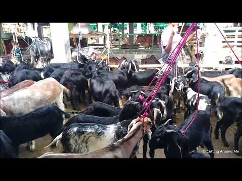 Lots of Goats in the Market for Sale |  Eid ul-Adha goat Market in Bangladesh 2017