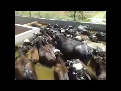 Katray bachray ke farming in Urdu / Hindi / Sabz chara aor bhoosay pr janver palna / Gosht ka krobar