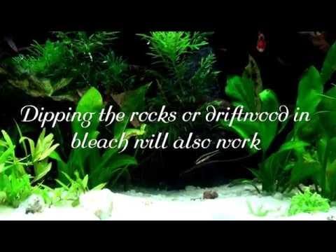 Black Brush Algae; How to get rid of it ?