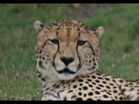 What noise do Cheetahs make?