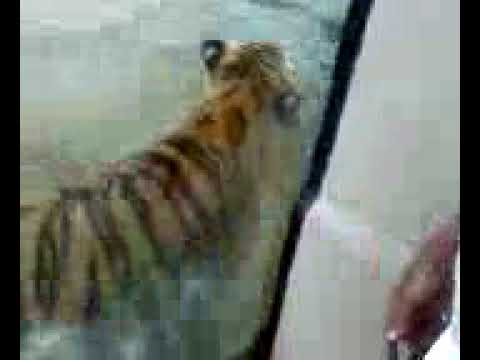 Mike the Tiger: Oh My God!