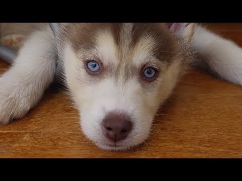 Adorable husky puppy in a hotel room!