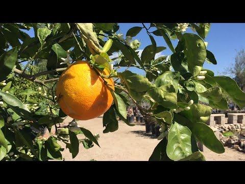 Best practices for fertilizing your citrus tree.