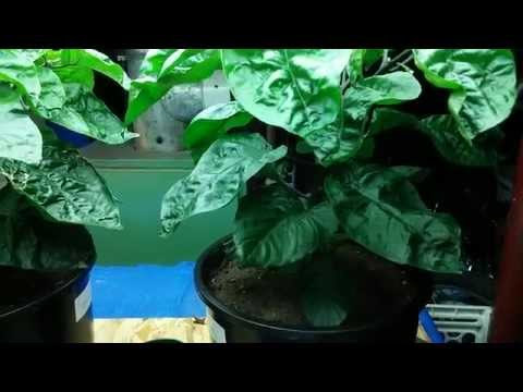 Growing Indoor hot peppers garden - Carolina Reaper, Bubblegum 7Pot BBG7