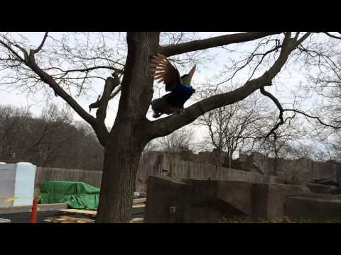 Peacock flying out of tree in slow motion
