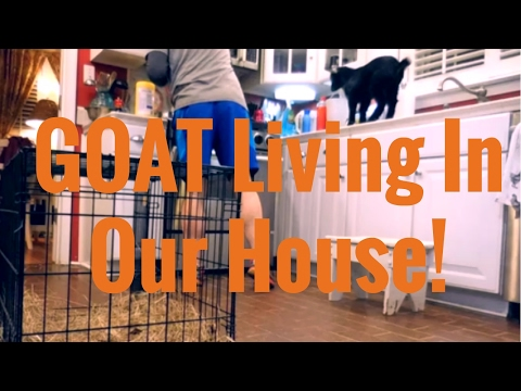 Raising A Goat in the House, May NOT be the SMARTEST Idea!!