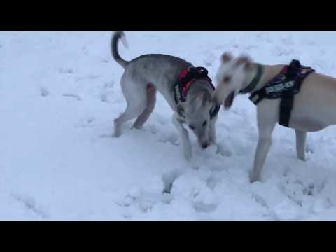Two Lurcher Greyhounds And A Cocker Spaniel Chasing In Virgin Snow