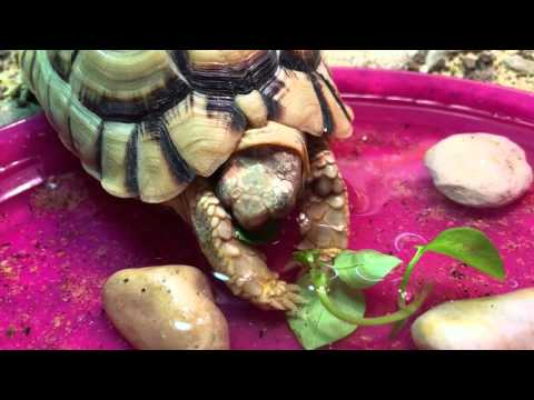 Clyde The Kleinmann Tortoise eating chickweed in water