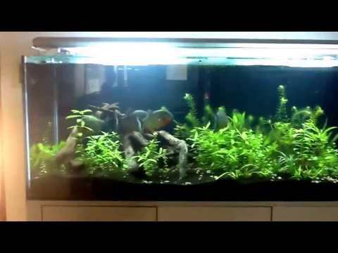 Planted piranha aquarium. Pros and cons.