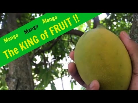 Picking Mango, and Showing when its ripe