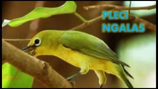 Terapi Masteran Pleci!! Suara Alami Pleci Ngalas Download Mp3 Mp4 3GP HD Video