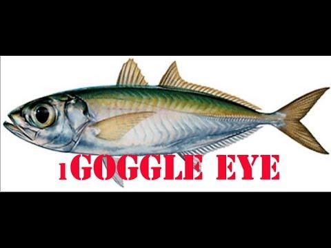 How To Catch Goggle Eye, gog's bait ,.dania Offshore kayak Fishing