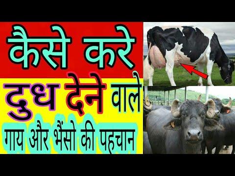 दुधारू गाय भैंस की पहचान कैसे करे/How select heavy milker buffalo or cow