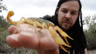 Download Free Handling Largest Scorpion in USA - The Giant Desert Hairy Scorpion Video