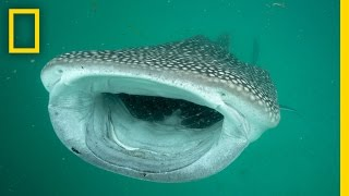 Investigating the Mysterious Whale Sharks of Mafia Island | National Geographic