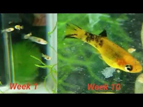 Leopard molly fry growing up (part #1) - week by week video log (few hours old - week 10)