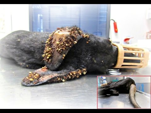 Puppy covered in thousands of ticks and with embeded wire on her tail makes an amazing recovery