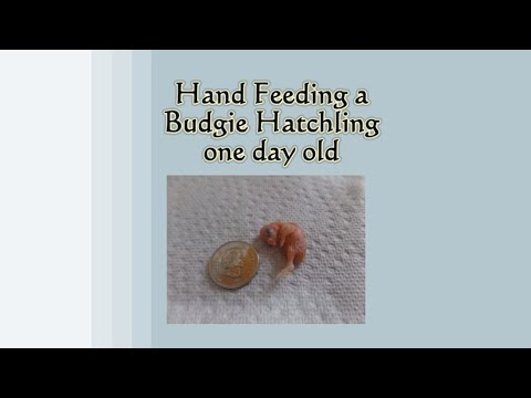 Hand Feeding A One Day Old Budgie Hatchling!
