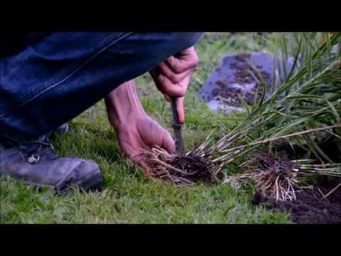 Palminių viksvų (Carex muskingumensis) 'Oehme' dauginimas