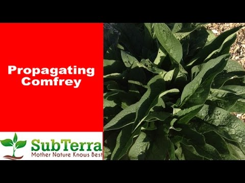 How to Propagate Comfrey from Root Cuttings