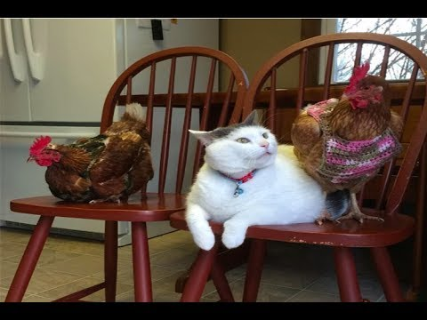 This Cat Has No Idea Why Chickens Are So Obsessed With Him...