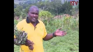 State House orders uprooting of Gomba man's 80,000 eucalyptus treess