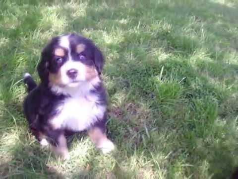 Bernese Mtn Dog Puppies U Litter 6 wks 2