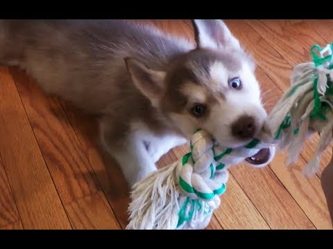 Clean your floors with a husky puppy!