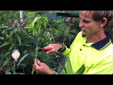 Garden Gems citrus & pruning mangoes