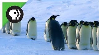 How Penguin Moms Find Their Chicks