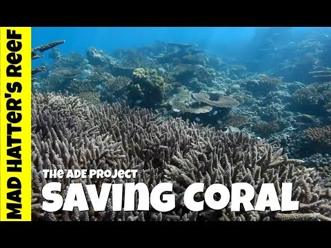 Saving Coral | The ADE Coral Restoration Project