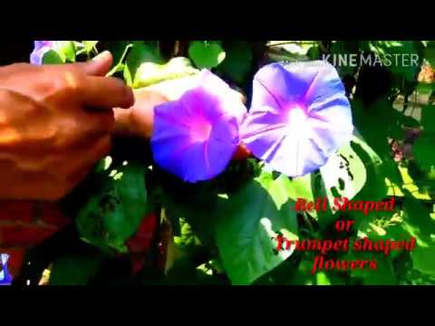 Grow MORNING GLORY This Summer. The Best Vine for your Fence and Arches.