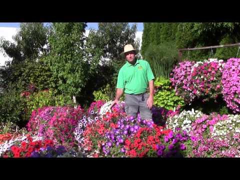 Trailing Petunias: Part 2
