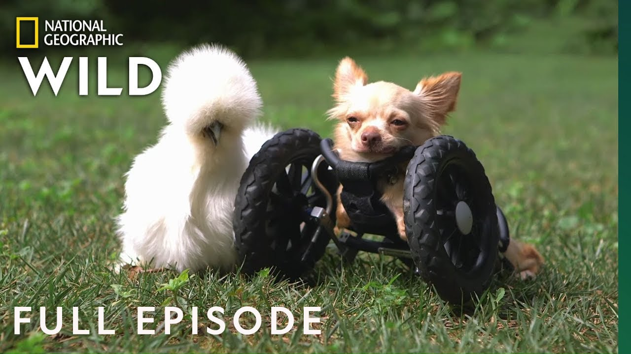 The Chihuahua and the Chicken (Full Episode) | Unlikely Animal Friends