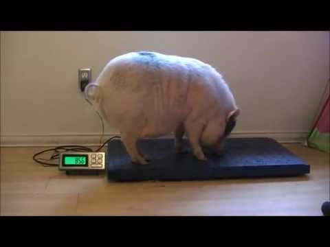 Mini Pig Weighs In! (Prissy & Bomber Show)