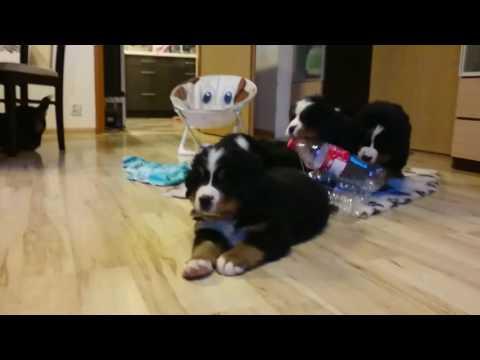 Fun puppies Bernese Mountain Dog :-D