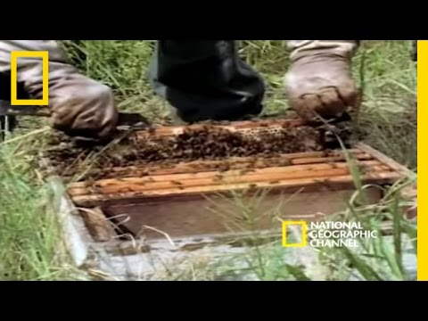 Killer Bees | National Geographic